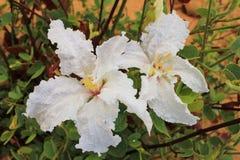 Одичалые цветки - африканский кофе Bush стоковые изображения rf