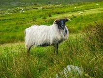 Одичалые черные возглавленные овцы в зеленом поле стоковые фотографии rf