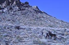 Одичалые burros в ландшафте пустыни Мохаве Стоковое Изображение