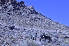 Одичалые burros в ландшафте пустыни Мохаве Стоковое Изображение RF