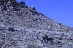 Одичалые burros в ландшафте пустыни Мохаве Стоковые Изображения