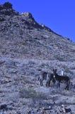 Одичалые burros в ландшафте пустыни Мохаве Стоковые Изображения RF