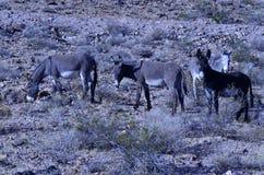 Одичалые burros в ландшафте пустыни Мохаве Стоковая Фотография RF