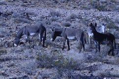 Одичалые burros в ландшафте пустыни Мохаве Стоковое Фото