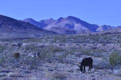 Одичалые burros в ландшафте пустыни Мохаве Стоковая Фотография