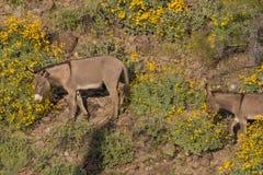 Одичалые Burros в пустыне весной Стоковое Изображение RF