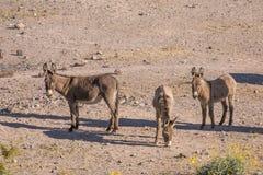 Одичалые Burros в пустыне Стоковое Изображение RF