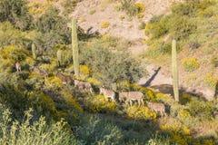 Одичалые Burros в пустыне Стоковое фото RF