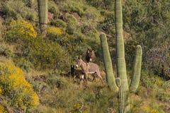 Одичалые Burros в пустыне Стоковая Фотография
