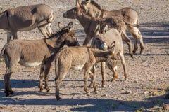 Одичалые Burros в пустыне Стоковое Фото