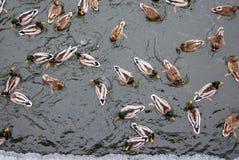 Одичалые ducs на предпосылке конспекта пруда Стоковые Фотографии RF
