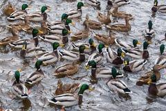 Одичалые ducs на предпосылке пруда Стоковые Изображения