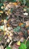 Одичалые toadstools растя в живой природе Лондона городской Стоковое фото RF