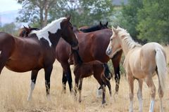 Одичалый американский табун лошадей мустанга с осленком Стоковая Фотография