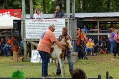 Одичалый аукцион пони на острове Chincoteague Стоковые Изображения