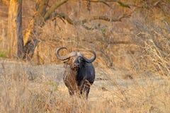 Одичалый африканский буйвол Стоковое Изображение