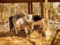 Одичалый белый бык стоковая фотография