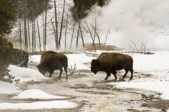 Одичалый бизон или американский буйвол в верхнем тазе гейзера, Yellowston Стоковая Фотография