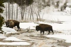 Одичалый бизон или американский буйвол идя в верхний таз гейзера, Ye Стоковые Изображения