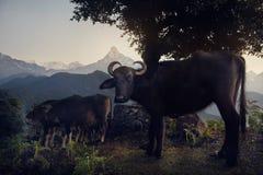 Одичалый буйвол в Гималаях Стоковое Изображение RF