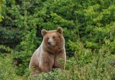 Одичалый взрослый Ursus Arctos бурого медведя в лесе лета Стоковое Фото