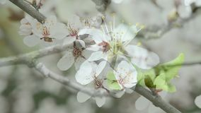 Одичалый вишневый цвет весной видеоматериал
