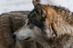 одичалый волк Стоковая Фотография