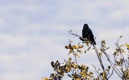 Одичалый ворон в парке - парке страны озер Bedfont Стоковая Фотография
