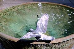 Одичалый голубь выпивая от общественного фонтана, Сиднея, Австралии Стоковые Изображения RF