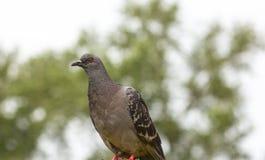 Одичалый городской голубь на запачканной предпосылке стоковое изображение