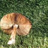 Одичалый гриб в поле Конец-вверх стоковая фотография rf