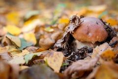 Одичалый гриб Стоковая Фотография RF
