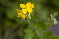 Одичалый желтый цветок в зеленой природе Стоковая Фотография