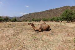 Одичалый идя верблюд в горах, Оман, Аравия Стоковое Изображение RF