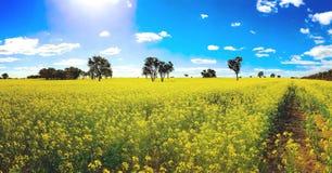 Одичалый канола расти в полях Стоковые Фотографии RF