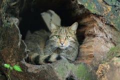 Одичалый кот Стоковые Фото