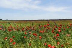 Одичалый красный мак lat добившийся успеха своими силами, или поля Rhoeas мака на полуострове Taman Стоковые Изображения RF