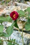 Одичалый красный пион стоковое фото