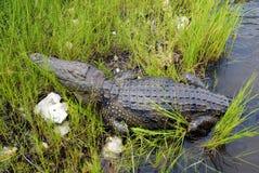Одичалый крокодил в реке Zambezi стоковые изображения