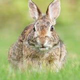 Одичалый кролик Брайна есть травинку в поле Стоковая Фотография RF
