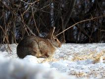 Одичалый кролик есть семена в снеге Стоковая Фотография