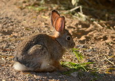 Одичалый кролик Стоковое Изображение