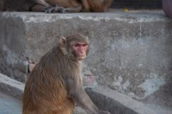 Одичалый крупный план портрета обезьяны в Непале стоковые изображения rf