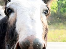 Одичалый крупный план стороны burro Стоковое Изображение