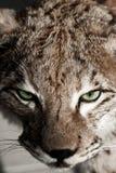 Одичалый крупный план Lynx Стоковое фото RF