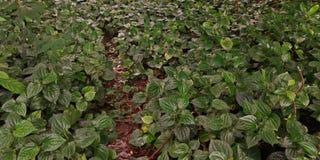 Одичалый куст лист бетэла Стоковая Фотография RF
