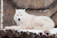 Одичалый ледовитый волк лежит на деревянных журналах Животные в живой природе Приполюсный волк или белый волк Стоковые Фотографии RF