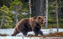 Одичалый лес бурого медведя весной Стоковая Фотография