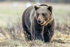 Одичалый лес бурого медведя весной Стоковая Фотография RF