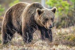 Одичалый лес бурого медведя весной Стоковые Фото